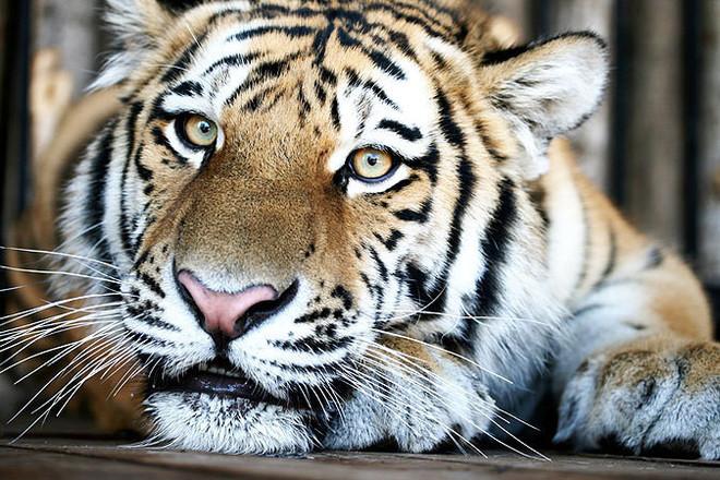 День тигра украсит логотип
